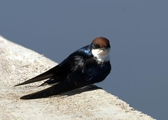 Wire-tailed Swallow (Hirundo smithii) (Arno Meintjes Wildlife) Tags: africa wallpaper bird nature animal bush wildlife safari rsa wiretailedswallow parkstock hirundosmithii specanimal arnomeintjes