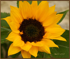 Sun Flower (redhatgal ~ Barbara Butler/FireCreek Photography) Tags: ca sun flower garden spring lovely bakersfield kerncounty supershot flowerscolors womenphotographers wowiekazowie redhatgal kerncountyphotographers kerncountyphotogaphers redhatal
