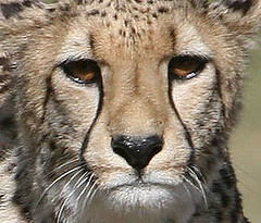 Cheetah girl Pombe (kjdrill) Tags: california africa park girls wild usa public animal mammal sandiego wildlife fast bigcat worlds land cheetah cubs fastest exoticcats bigcats debut escondido moyo endangeredspecies etana pombe
