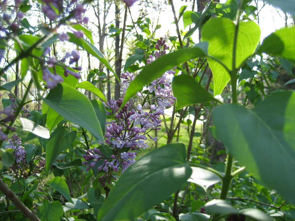 Lilac Blossoms 070413