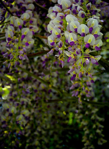 "Hanging Purple Flowers ""Wisteria"""