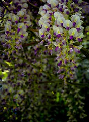 """Hanging Purple Flowers """"Wisteria"""" (Scott Stringham """"Rustling Leaf Design"""") Tags: light party flower art me beer dark photography design utah photo leaf nice play purple graphic walk loveit photograph buy iwant alpha wisteria sexxy rld keeper sps stringham catchmeifyoucan rustling buymeabeer scottstringham rustlingleafdesign designmy wwwrustlingleafdesigncom rldprivat"""