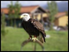 Aguila (DeFerrol) Tags: park eagle wildlife bald blanca cabeza animalplanet cantabria guila calva pigargo cabaraceno
