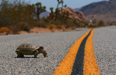 Tortoise crossing (Mac Danzig Photography) Tags: california road park camping cactus sun tree nature canon outdoors spring mac highway crossing joshua turtle reptile wildlife tortoise explore national deset flickrexplore macdanzigphotography macdanzigphotography