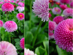 Daisies along the Changpu River (NowJustNic) Tags: china park pink flower catchycolors triptych beijing coolpix daisy 北京 中国 花 公园 naturesfinest englishdaisy impressedbeauty changpuriverpark bellisperrennis coolpixe4200