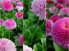 Daisies along the Changpu River (NowJustNic) Tags: china park pink flower catchycolors triptych beijing coolpix daisy 北京 中国 花 公园 naturesfinest englishdaisy impressedbeauty changpuriverpark bellisperrennis coolpixe4200