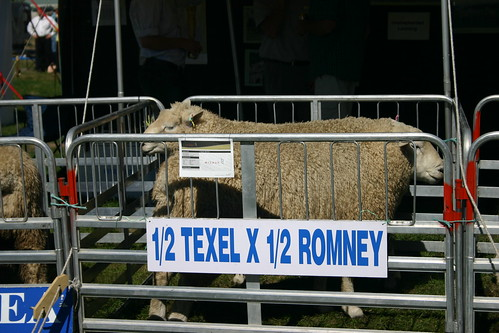 sheep at county fair - Wanaka