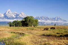 Bison and the Mountains (Robby Edwards) Tags: vacation mountains animal fog nationalpark wildlife wyoming bison grandteton grandtetonnationalpark naturesfinest mormonrow cathedralgroup