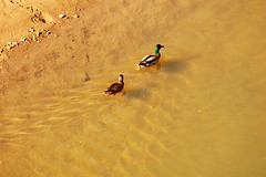 Mallard Ducks, Highland Creek (ashour rehana) Tags: male birds female pair ducks mallard highlandcreek dsc4400