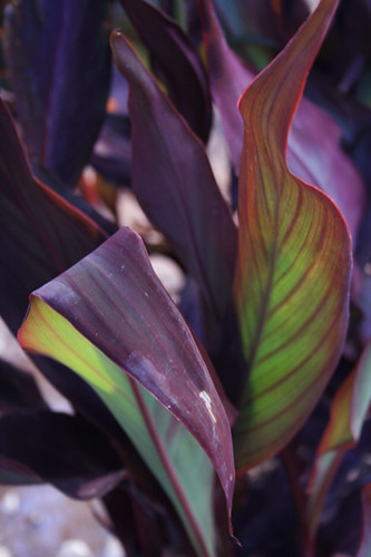 Canna - What kind is it?  part III
