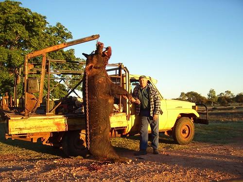 Via Mick Haverfield - Giant Wild Pig Ute, Pilbara