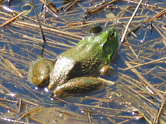 Bullfrog singing