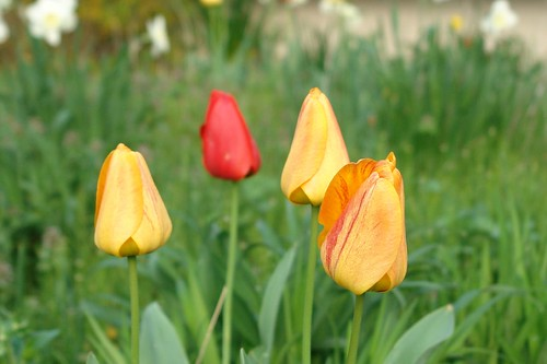 Tulips from Spring 2007