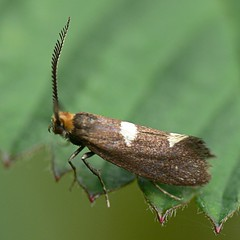 Draycote Meadow 29042007-107 (Walwyn) Tags: insect moth lepidoptera warwickshire walwyn draycotemeadows