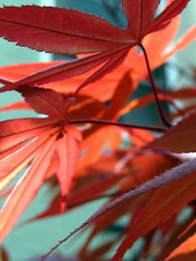 1 May 2007 (jodi*mckee) Tags: red tree leaves spring japanesemaple 365 project365 interestingness442 i500 149365 superhearts explore1may2007 ilovethesecolorstogether