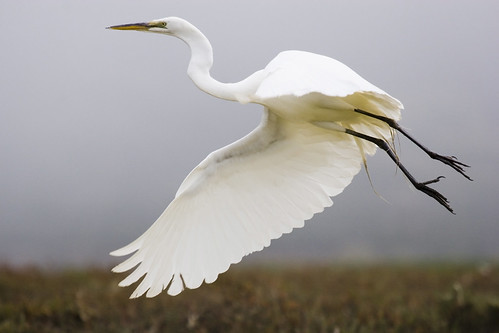 Great Egret (Ardea alba), great-egret_MG_5189