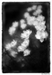 Yellow-cup /  (elenaerda) Tags: flowers blackandwhite bw flower nature garden spring russia monocle erda elenaerda
