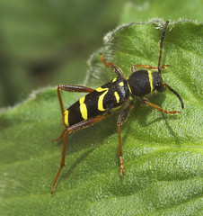 """Wasp Beetle (Clytus arietis)(2) • <a style=""""font-size:0.8em;"""" href=""""http://www.flickr.com/photos/57024565@N00/482736473/"""" target=""""_blank"""">View on Flickr</a>"""