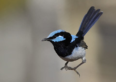 Superb Fairy-wren casual landing (aaardvaark) Tags: male garden australia canberra suspended act bif breedingplumage naturesfinest superbfairywren maluruscyaneus ex3 animalkingdomelite 30faves30comments300views 0a 2007050216402~sufw~bif ix187