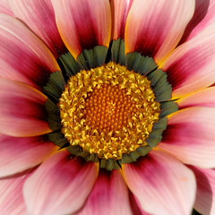 Friday's Flower Power (macropoulos) Tags: topf50 500v20f 500v50f gazania 1000v100f excellence naturesfinest flowerscolors 1500v60f 1000v40f canonef100mmf28macrousm flowerotica mywinners canoneos400d superaplus aplusphoto 50faves50comments500views 100faves100comments1000views diamondclassphotographer macrophotosnolimits macro500x500