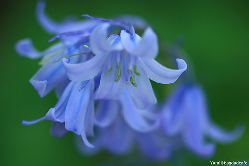 dreamy blue flower / * Yumi *