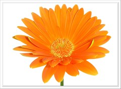 Gerbera Daisy (Lyubov) Tags: flowers orange flower nature ilovenature searchthebest gerbera daisy excellence thebiggestgroup mywinners