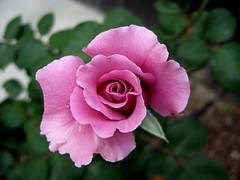 Angelface (Lisa-Marie Jordan) Tags: flowers rose atascadero april2007