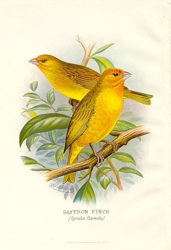 illustrations of birds. Vintage Bird Illustration