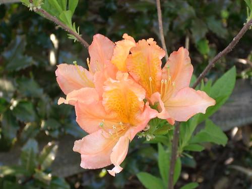 Peach Azalea