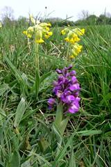 Draycote Meadow 29042007-022 (Walwyn) Tags: orchid wildflower warwickshire walwyn draycotemeadows