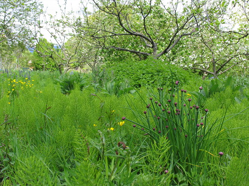 garlic chives and pear tree