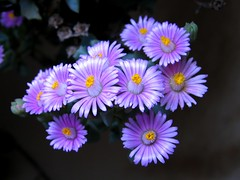 Oscularia - חיעד (yoel_tw) Tags: aizoaceae חיעדיים oscularia exquisiteflowers חיעד