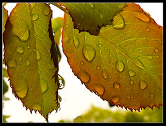 Rainy Day Beauty (dee_r) Tags: droplets bravo searchthebest roseleaves anawesomeshot superaplus aplusphoto ultimateshot superbmasterpiece beyondexcellence favoritecapture toalltherainydaybeauties utlmateshot