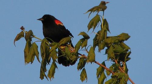 redwingedblackbird