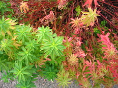 euphorbia polychroma (kerlon) Tags: växter euphorbiapolychroma törel perenner