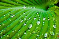 _-4 (BigRedTroll) Tags: color green hosta leaf nature vegetation water waterdrop