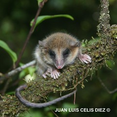 Monito del Monte (Dromiciops gliroides) (Bosque Austral) Tags: chile animals fauna rainforest wildlife chilo marsupiales