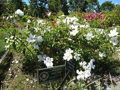 2007-05-20 Rose Garden (2) (sleepyeve) Tags: flowers flower rose garden sanjose rosegarden starrynight