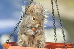 looks like a smile (machris (Mary-Ann)) Tags: bird wet rain squirrel birdfeeder feeder peanut stealing blueribbonwinner outstandingshots impressedbeauty superhearts machris44
