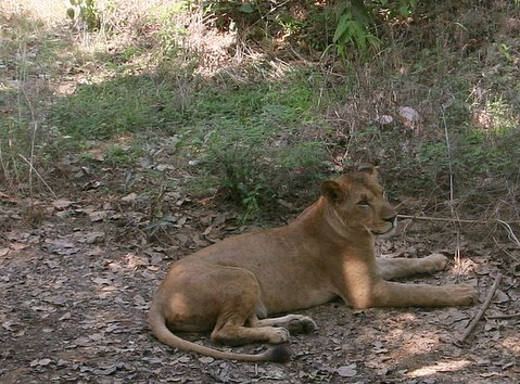 Lioness, Bannerghatta, 19 May 07