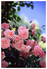 Rose 070520 #16