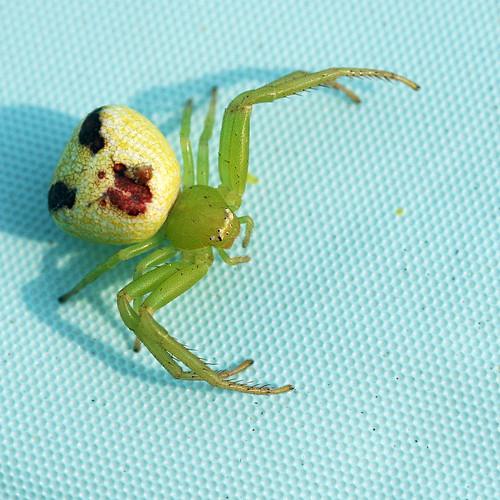 Serbi Dunia Cara Menghilangkan Flek Hitam Di Wajah: Wajah Mirip Manusia Pada Belakang Labah-labah