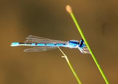 Damselfly (abcode) Tags: brown bug insect wings dragonfly © h billy damselfly allrightsreserved mywinner abcode billyhbrown