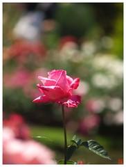 Rose 070520 #23