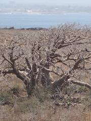 Ancient Baobabs on l'ile de Sarpant 2007 (BobbiLe Ba Photography) Tags: africa portraits photographer stlouis atlantic westafrica senegal dakar twincities francais studyabroad minneapolisminnesota maisondesesclaves bobbilendiaye bobbilebaphotography