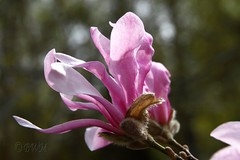 The pink magnolia ( B i b b i ) Tags: flowers flower canon spring flora sweden uppsala magnolia blomma sverige bud blommor botanicalgarden 2007 vr 30d botan knopp naturesfinest magnoliaceae botaniskatrdgrden canon30d supershot sigma1770mmf2845dcmacro anawesomeshot flickrelite theuppsalauniversitybotanicalgarden passionatelypinkforthecure pinkforthecure