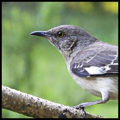 Mockingbird (Southernpixel - Alby Headrick) Tags: usa bird nature photography spring birmingham alabama supershot specnature southernpixel southernpixelcom