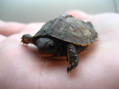 A New Life in My Hand (Sea Frost) Tags: life baby nature animal turtle coolest vie babyturtle aquatica thoughtstoliveby impressedbeauty superaplus aplusphoto seafrost flickrelite