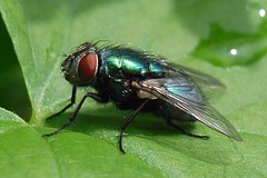 Green-Bottle Fly (Lucilia sericata) (sillie_R) Tags: macro insect fly greenbottle housefly maggot lucilia luciliasericata jalalspagesnaturealbum thechallengegame challengegamewinner