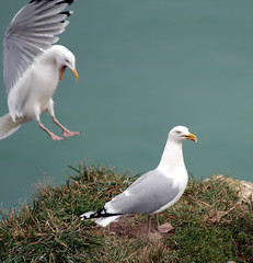 Yeeeh Haaaaah! Target locked! (Nicolas Hoizey) Tags: sea two mer seagulls france bird birds fly flying wings seagull gull gulls pair wing assault deux vole gaviotas oiseau meeuw mwen gabbiani etretat mouette oiseaux aile ailes goland mouettes ms attaque mke lokki voler argent cocal mge mewa sirly galeb assaut golandargent mevos